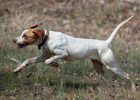 Real Estate The Purpose Of Pointing Dog Cuteness Range Northwoods Bird Dogs