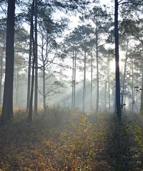 Mornings in the piney woods are beautiful and May, our Labrador retriever, and I loved the daily walks around our place.