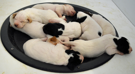 The nine puppies out of CH Elhew G Force x Northwoods Vixen at 10 days of age spend their time sleeping or nursing.