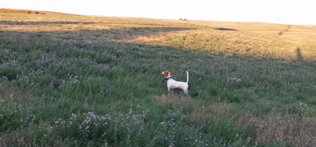 Among the long shadows of a prairie sunset, pointer Northwoods Vixen is high and tight in a field of alfalfa.