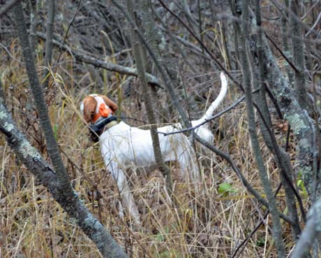On a dark, damp day in October, the pointer took me and my guiding clients from grouse to grouse to grouse.