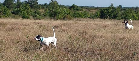 At the Namekagon Barrens, Pointer Hannah Montana  points a covey of sharptail grouse while Northwoods Fuzzy Navel backs