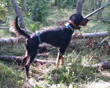 Composed and intense, Gordon setter Choo points a covey of quail in the woods.