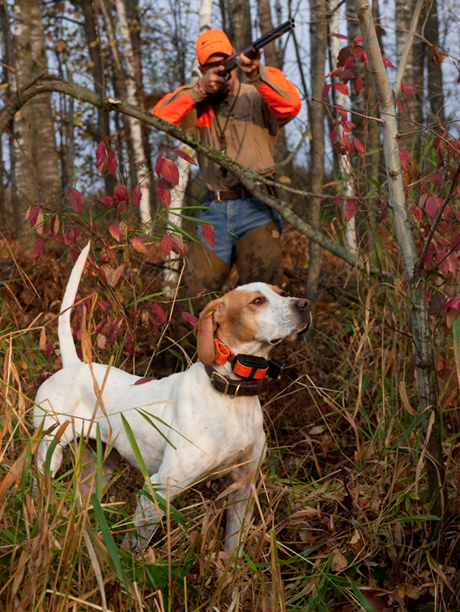 At four years of age, pointer female Northwoods Prancer, is an experienced and fully-trained grouse dog.
