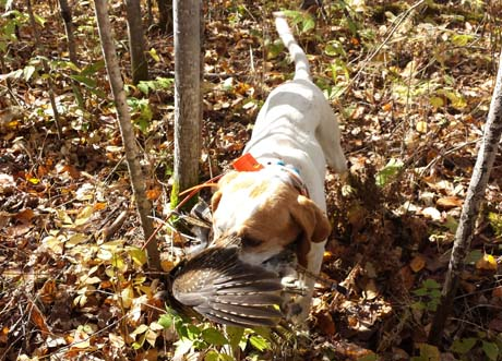 Northwoods Prancer retrieves a grouse so gently that its gorgeous wing feathers are untouched.