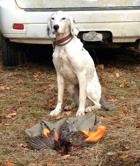 Northwoods White Russian (Blue Shaquille x Snyder's Liz, 2012) with grouse in Minnesota.