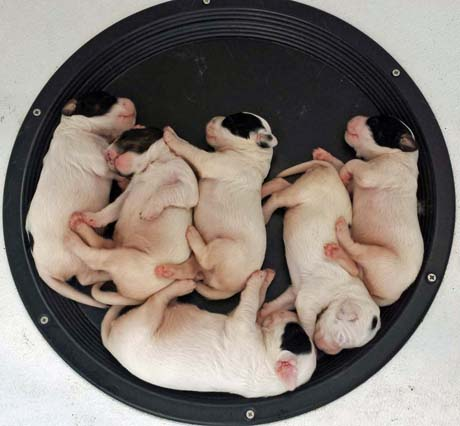 Our last puppies for 2013 were whelped on June 22. The CH Houston's Blackjack x Northwoods Highclass Kate litter included two females and four males.