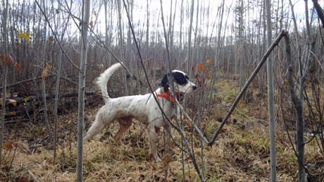 """""""Roy (Northwoods Blue Ox x Northwoods Chablis, 2012) is doing extremely well…He has been hunting every weekend of the season. Although the grouse are down compared to last year, we are still seeing our share…I have noticed the experienced dogs (Piper, Rosie, Sage and Kally) are finding significantly more birds than the younger dogs.  As the grouse population declines, the good/experienced grouse dogs really separate themselves from the others."""" ~ Chris"""