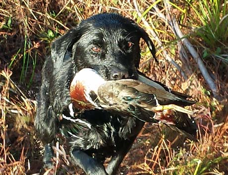 May clambers on shore with her retrieve of a colorful drake wood duck.