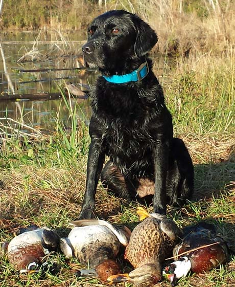 May, our 10-year-old Labrador, poses with part of her retrieved stash of ducks.