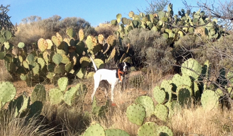 Jeff Hintz' two-year Izzie somehow found her way through a big group of prickly pear cactus to point a covey of Mearns quail.