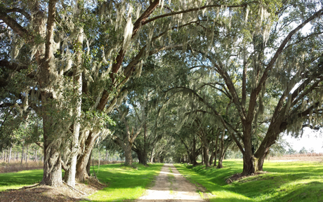 Jerry was fortunate to be invited to several quail plantations to hunt and train. Venerable live oaks draped with Spanish moss form a shaded canopy over a quintessential entranceway.