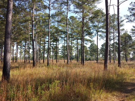 Jerry and I never tire of this site:  lofty native pines on a southwestern Georgia quail plantation.
