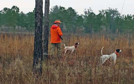 Jerry has also traveled to quail plantations for hunts with Sam Gary. Sam moves into position after a find by his black-and-white pointer female Hannah.