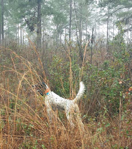 On a misty morning in heavy cover of broom sedge and brambles, Jerry discovers Tripp on point. But Tripp's find wasn't a covey of quail. Instead, a lone woodcock flushes from the spot.