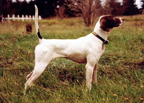 CH Dance Smartly (CH Northern Dancer x CH Vanidestine's Rail Lady, 1991 - 1999) was our first grouse champion and the beginning of our line of pointers.