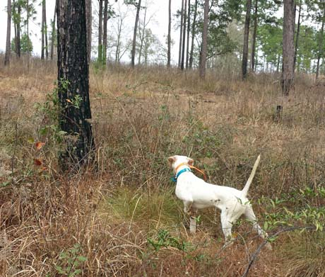 With one front leg lifted and poker straight tail, pointer Buddy points a single quail on an open hillside of Arrowhead Farms.