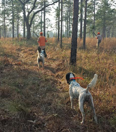 Tripp (Houston x Northwoods Blue Babe, 2009) backs another setter during a late afternoon hunt on the Trinity Place Plantation.