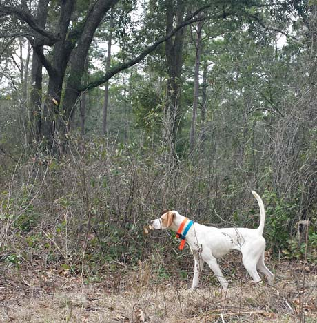 Near the base of a large live oak on Arrowhead Farms, Buddy (Elhew G Force x Northwoods Vixen, 2013) locates a covey.