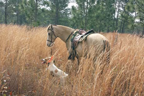 The pointer Pesto (Elhew G Force x Northwoods Vixen, 2013) and the horse Willow take a break in tall broom sedge on the Disston Plantation.