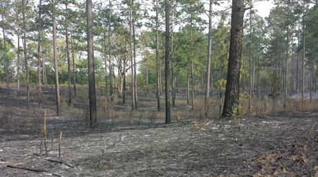 Matt was pleased to get a good, clean burn. The only remaining vegetation is native longleaf and loblolly pines (Pinus palustris and P. taeda)—both of which have biological means to survive fires.