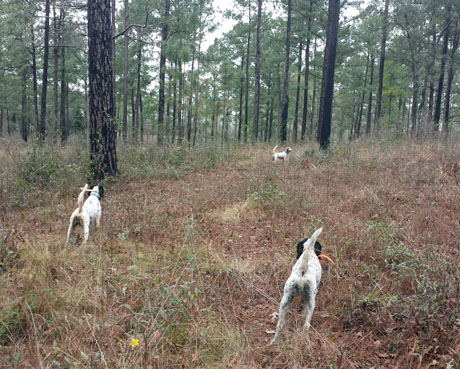 Then again, there's nothing like running experienced bird dogs. This is sure a pretty sight:  four- year-old Tripp (Houston x Northwoods Blue Babe), on left, and nine-year-old Jill (Gusty Blue x CH Houston's Belle) honor Gert (I'm Houston's Image x Blue Silk), an eight-year-old.
