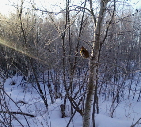A grouse perches in a young aspen on a cold winter morning in the woods surrounding the kennel.
