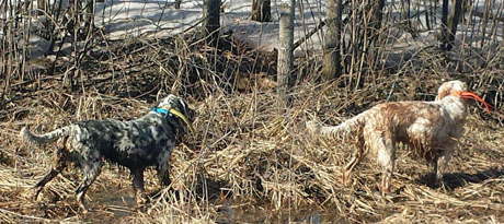 Ryman setter littermates Gigi, on left, and Buck found oodles of woodcock this spring.