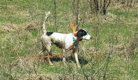 Millie, setter female (CH Houston's Blackjack x Northwoods Chablis, 2013).