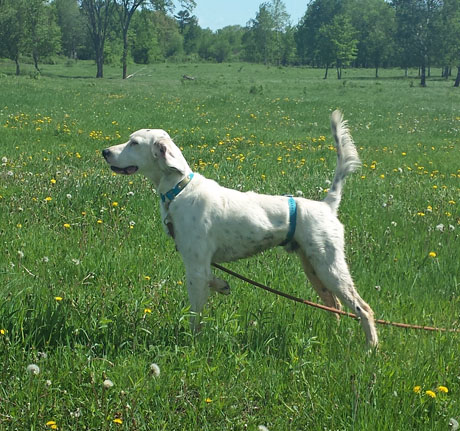 Royce, setter male (Blue Shaquille x Houston's Belle's Choice, 2013).
