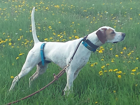 Smooch, pointer female (CH Elhew G Force x Northwoods Vixen, 2013).