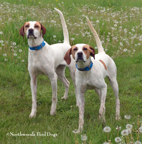 Littermates Northwoods Lexus and Northwoods Audi, age 1 CH Elhew G Force x Northwoods Vixen Duxbury, Minnesota June 2014 photo by Jerry Kolter