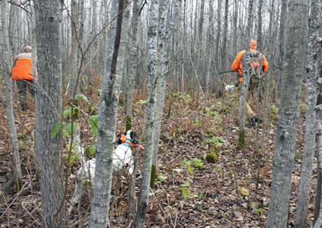Two hunters pass the backing dog and move into position to flush for the lead dog in good-looking grouse cover.