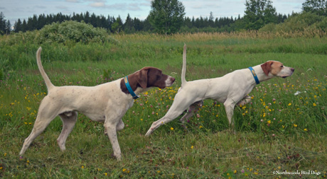 Littermates Northwoods Jaguar and Buddy, age 1 CH Elhew G Force x Northwoods Vixen Duxbury, Minnesota July 2014 photo by Jerry Kolter