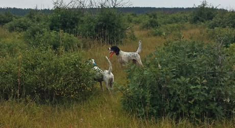Franny (Northwoods Blue Ox x Houston's Belle, 2010), on left, and Gus (Blue Shaquille x Houston's Belle's Choice, 2011) score a divided find on sharp-tailed grouse in a scrub oak patch on the barrens.