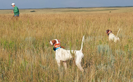 During one of those perfect mornings to be running dogs on the prairie, Frank LaNasa flushes for his multiple champion Homemade (on right), who is backed by Lucy (Westfall's Black Ice x Northwoods Prancer, 2011).