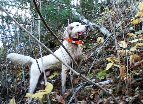 It's hard to believe Boomer (I'm Houston's Image x Blue Silk, 2006) is already eight years old. He is still running like a five-year-old, and lots of hunt still in him! Boomer has been a great dog, and I'm hoping his good health will last a few more years. ~ Scott, Minnesota