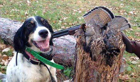 Tired-but-happy Mac (Blue Shaquille x Houston's Belle's Choice, 2013) poses with two beautiful ruffed grouse after a hunt in Minnesota.
