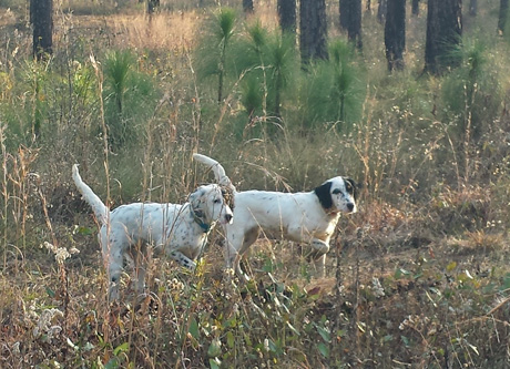 Against a background of mature and sapling longleaf pines, Jerry and I watched as, separately, littermate sisters Nickel, on left, and Holly (CH Shadow Oak Bo x Northwoods Chardonnay) worked and then shared point on a single wild quail.