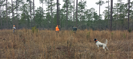 The dog handler (in orange vest) flushes as two hunters move into position over a classic point by one of the best in our string, Northwoods Carly Simon (Blue Shaquille x Houston's Belle's Choice, 2011) during a guided hunt on a private quail plantation.