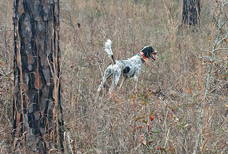 Ahniwake Grace (Northwoods Blue Ox x Houston's Belle's Choice, 2010) is used exclusively on private quail plantation hunts where she typically out-birds her bracemates.