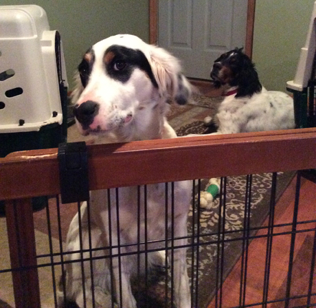 Lucy (on left) is a young setter that recently swallowed a large quantity of TomCat rodent poison but is now recovering. Her kennel-mate in the background is four-year-old Beasley.
