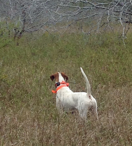 It's impossible to beat your pointers. Here's Ginger (CH Elhew G Force x Northwoods Vixen, 2013).  ~ Wayne, Mississippi, hunting in south Texas