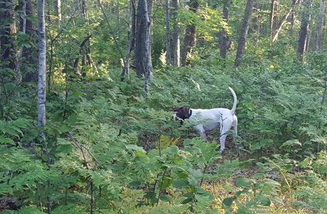 Northwoods Jaguar (CH Elhew G Force x Northwoods Vixen, 2013) pointed a woodcock in older aspen with an understory of ferns.
