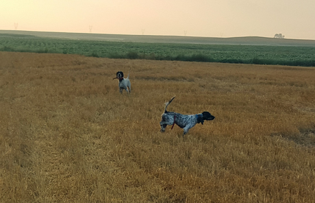 The beautiful fields of North Dakota are vast and can be a challenge for young dogs. But one-year-old Carbon (Blue Riptide x Northwoods Carly Simon, 2014), on right, shares point with the veteran Grits (Northwoods Blue Ox x Northwoods Chablis, 2011) on a covey of sharptails.