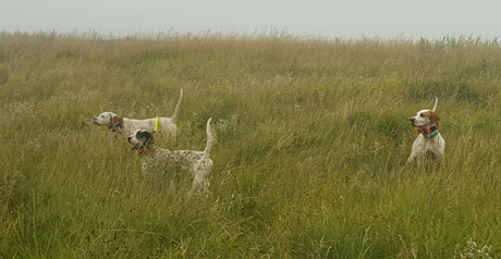 On a misty morning in North Dakota, three pretty females find and point pheasants. On left, Frank LaNasa's Claire (CH True Confidence x CH Lil Miss Sunshine, 2014), Paul Hauge's Mocha (CH Shadow Oak Bo x Northwoods Chardonnay, 2014) and Tony Follen's Lucy (CH Westfall's Black Ice x Northwoods Prancer, 2011).