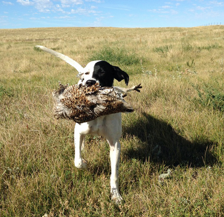 Sky's first sharptail that she pointed and retrieved. Thanks again for another great dog. ~ Randy, from Minnesota