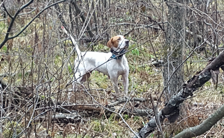 Some dogs--like Northwoods Vixen (CH Westfall's Black Ice x Northwoods Prancer, 2011)--have a natural affinity to find ruffed grouse. This gnarly, nasty cover screams grouse.