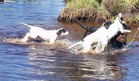 "On a ""gang run,"" May leads puppies Snickers, Grits and Axel (Northwoods Blue Ox x Northwoods Chablis, 2012) into a pond."