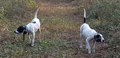 Maddie, on left, and Chanel point scattered birds of a covey along a mowed strip. They are female littermates out of CH Rock Acre Blackhawk x Northwoods Vixen, 2015.